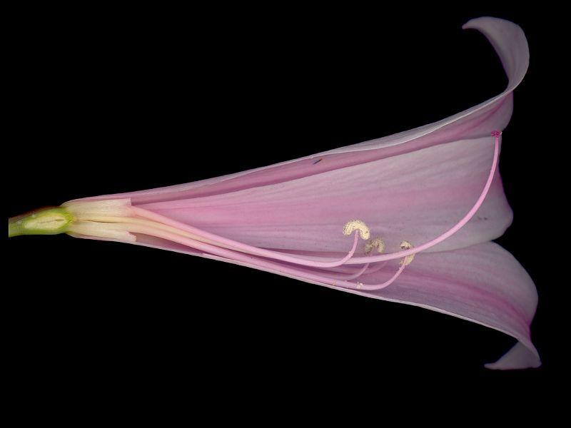 belladonna naked
