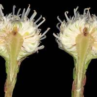 Brunia_nodiflora_naked_flower_head_section.jpg