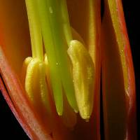 Cotyledon_orbiculata_naked_bud_anther.jpg