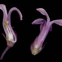 Cyphia_bulbosa_naked_flower.jpg