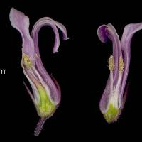 Cyphia_bulbosa_naked_flower_a.jpg