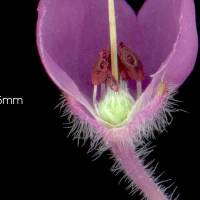 Erica_chamissonis_naked_flower_b_hairy_ovary.jpg