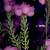 Erica_mollis_stem_and_leaf.jpg