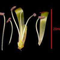 Lachenalia_aloides_unripe_anther.jpg