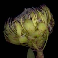 Protea_acaulos_flower_head_side_view.jpg