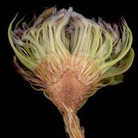 Protea_acaulos_naked_flower_head.jpg