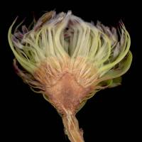 Protea_acaulos_naked_flower_head_a_1280x1024.jpg