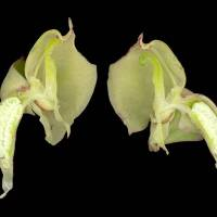 Pterygodium_catholicum_naked_flower_800x600.jpg
