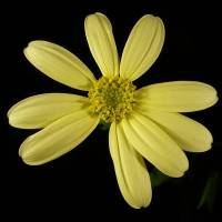 Senecio_macrocarpa_flower_head_b.jpg